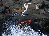 Galapagos-Bird-_-Crab-Broadcast-Size.jpg