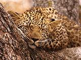 South-Africa-Leopard-Broadcast-Size.jpg